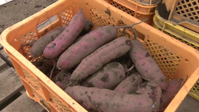 harvested sweet potato, ibaraki, japan - sweet potato stock videos & royalty-free footage