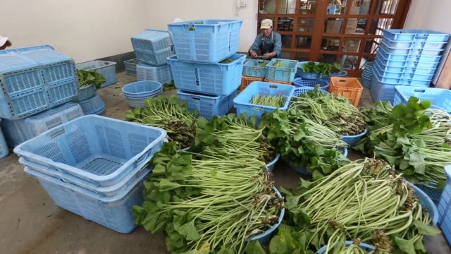 harvested wasabi plants sit over a flow of water during a harvest at the daio wasabi farm in azumino nagano prefecture japan on tuesday may 24 roots... - wasabi stock videos and b-roll footage