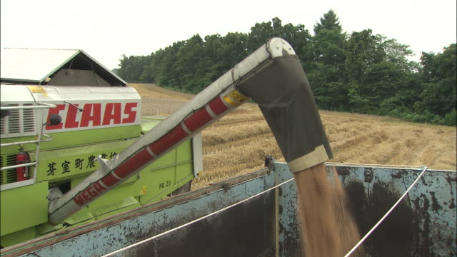 Harvested wheat pours into a bin.