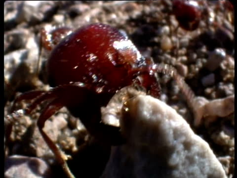Harvester ant attempts to drag stone New Mexico
