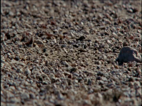 Harvester ants dash in and out of seed store in desert