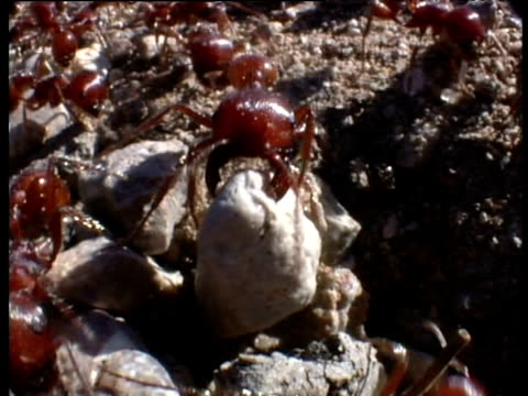 Harvester ants drag stones to unblock entrance to rivals' seed chamber New Mexico