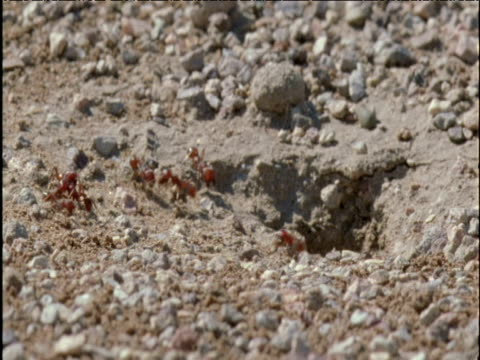 vidéos et rushes de harvester ants raid neighbouring colony's seed store - colony
