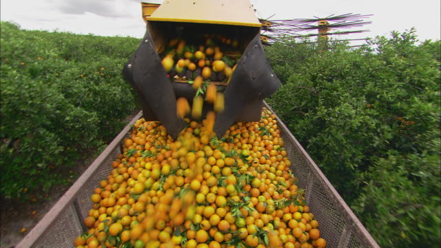 ms zi harvester harvesting oranges from tree and loading into back of vehicle / florida, usa - harvesting stock videos & royalty-free footage
