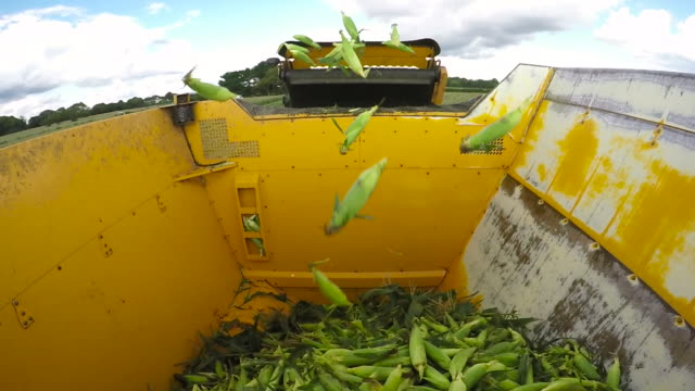 stockvideo's en b-roll-footage met harvester harvesting sweetcorn in field, uk - cereal plant