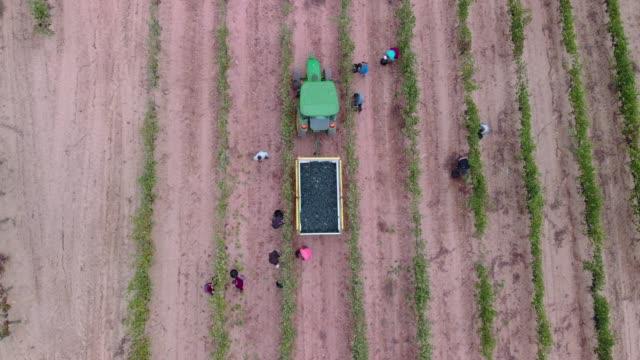 vídeos y material grabado en eventos de stock de harvester vinefield - campesino
