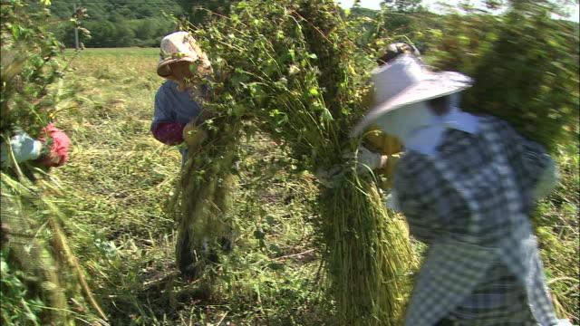 Harvesters bundle buckwheat stalks.