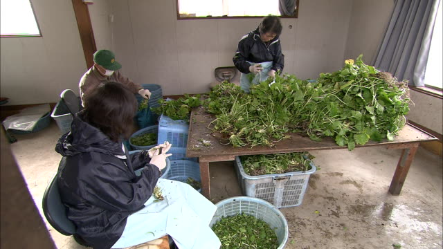 harvesters trim leaves from wasabi roots. - wasabi stock videos and b-roll footage