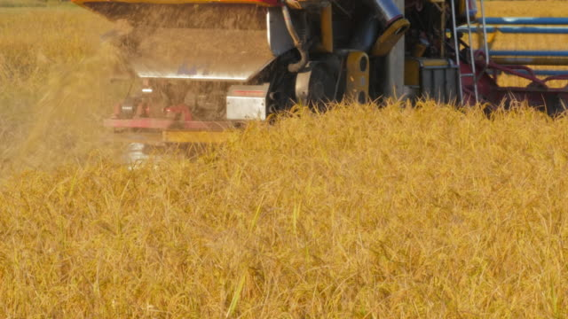 harvesting a field of rice - rice plant stock videos and b-roll footage
