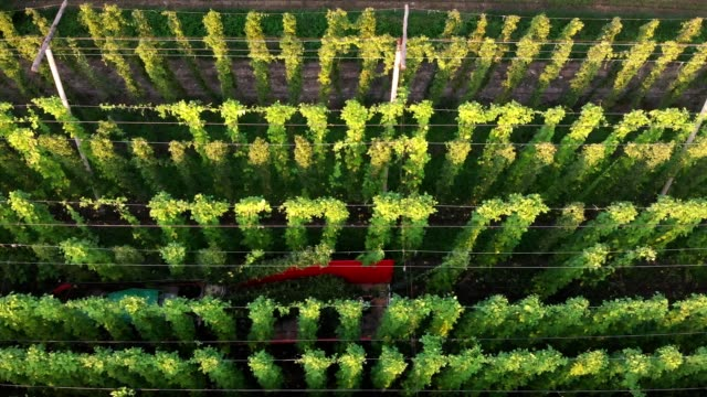 harvesting a hops field is a two man job - crop plant stock videos & royalty-free footage