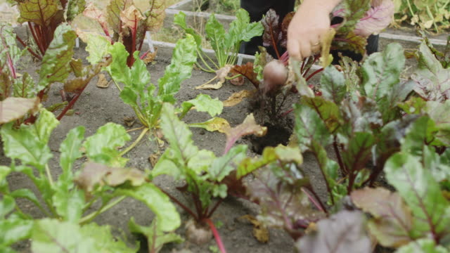Harvesting Beetroot in Allotment Garden