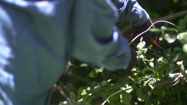 Harvesting bergamot.