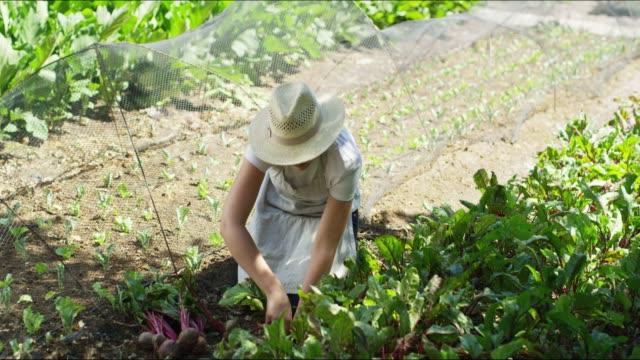 vidéos et rushes de récolte à la main - radis