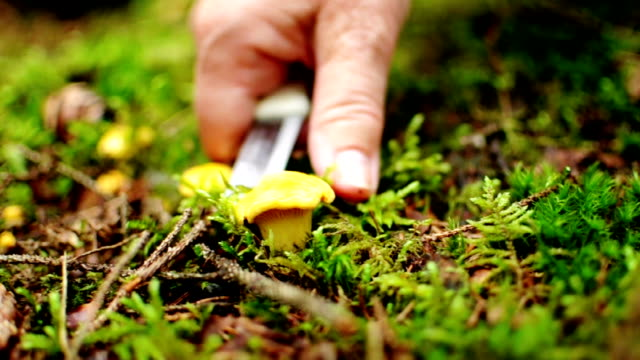 harvesting chanterelles - swedish forest - chanterelle stock videos & royalty-free footage