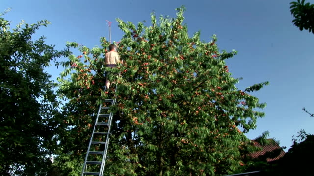 HD TIME-LAPSE: Harvesting Cherries