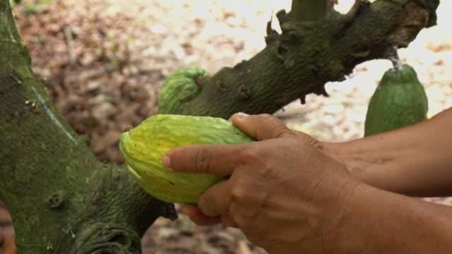harvesting cocoa fruit on tree - fagiolo video stock e b–roll