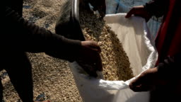 Harvesting coffee bean slow motion