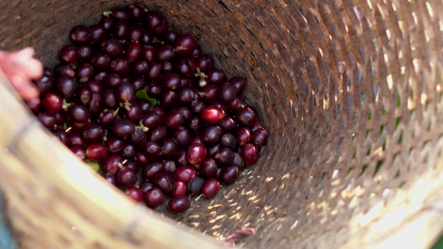 harvesting coffee bean - picking stock videos & royalty-free footage
