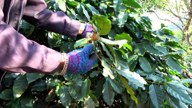 vídeos y material grabado en eventos de stock de cosecha de grano de café - escoger