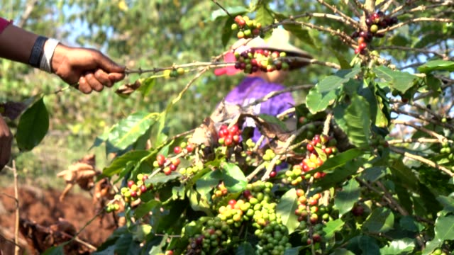 harvesting coffee bean - picking harvesting stock videos & royalty-free footage