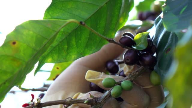 コーヒー豆の収穫 - カフェイン分子点の映像素材/bロール