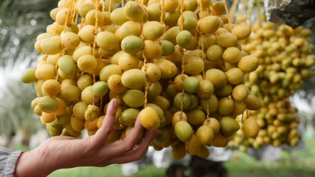 harvesting date palm fruit on tree - choosing stock videos & royalty-free footage