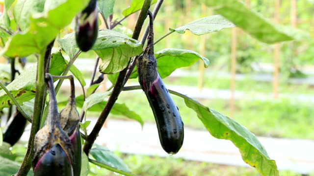 harvesting fresh aubergine at vegetable garden - aubergine stock videos & royalty-free footage