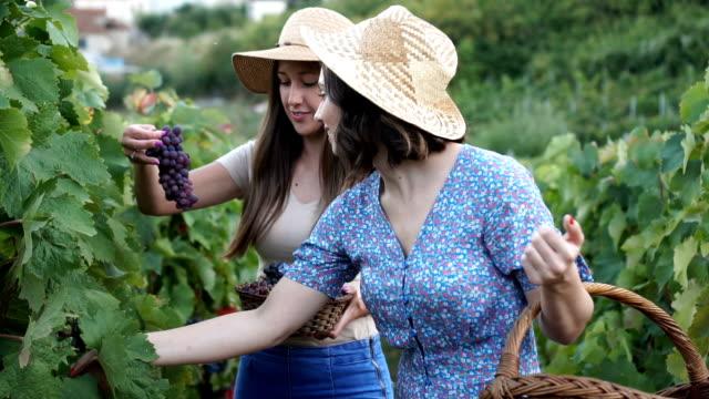 vídeos de stock, filmes e b-roll de colhendo uvas frescas - super slow motion