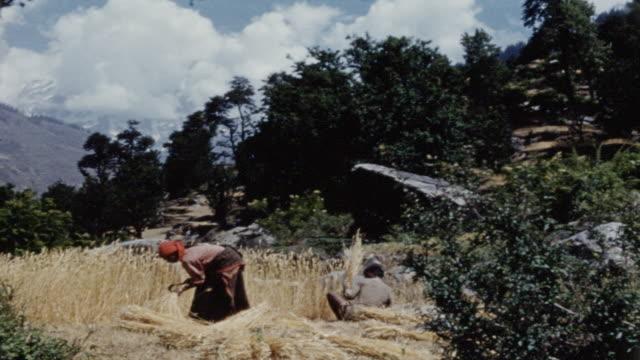 harvesting grain in nepal - scythe stock videos and b-roll footage