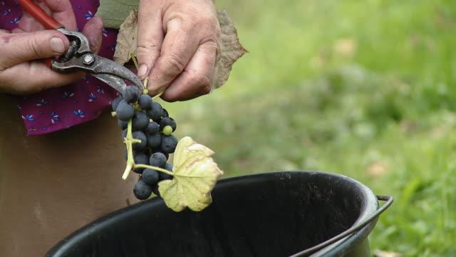 hd: harvesting grape - secateurs stock videos & royalty-free footage