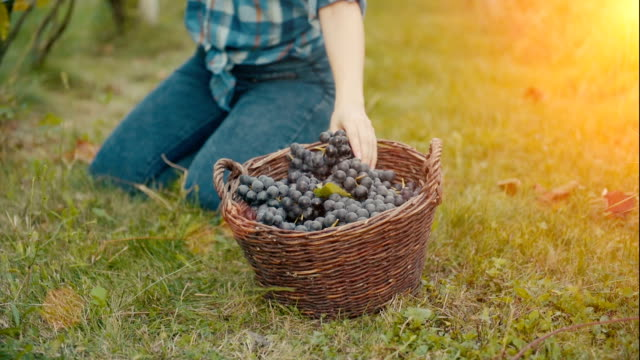 Harvesting grapes in autumn in basket