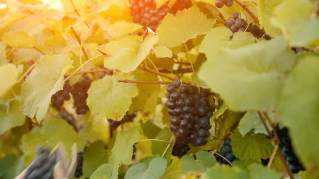 Harvesting grapes in autumn