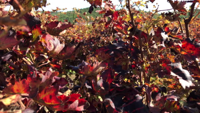 Harvesting grapes in fall autumn, lots of orange red grape leaves