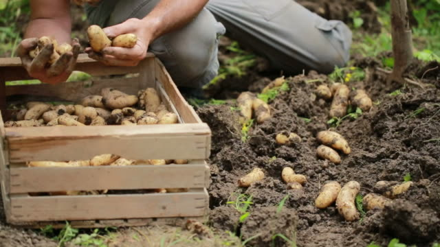harvesting homegrown organic potatoes - crate stock videos & royalty-free footage