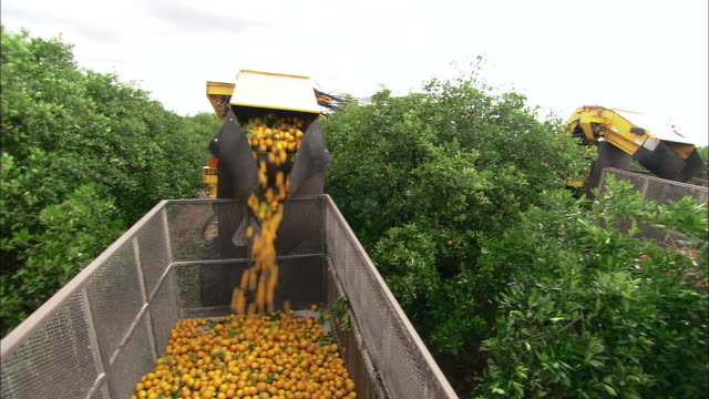 stockvideo's en b-roll-footage met a harvesting machine picks oranges from trees. - boomgaard