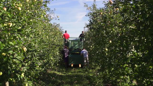Harvesting Organic Apples in South Tyrol