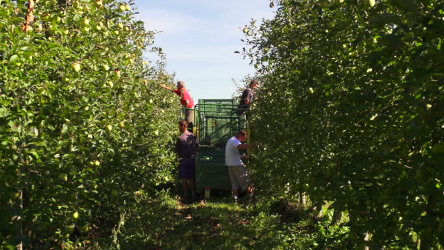 harvesting organic green apples in south tyrol - fruit tree stock videos & royalty-free footage