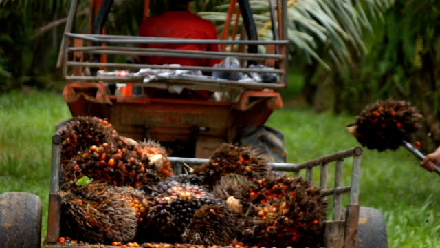 harvesting palm oil in the plant,slow motion - plantation stock videos & royalty-free footage