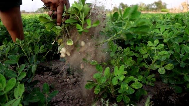 フィールドのスローモーションでピーナッツの収穫 - 食品 ピーナッツ点の映像素材/bロール