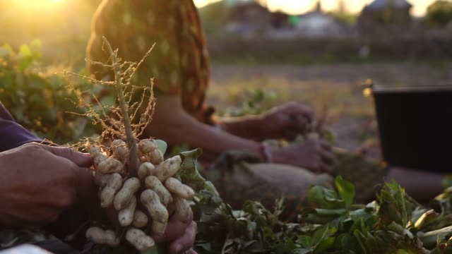 vídeos de stock e filmes b-roll de harvesting peanut in the field slow motion - fruto seco