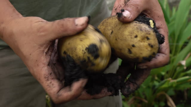 harvesting potato in the field - raw potato stock videos & royalty-free footage