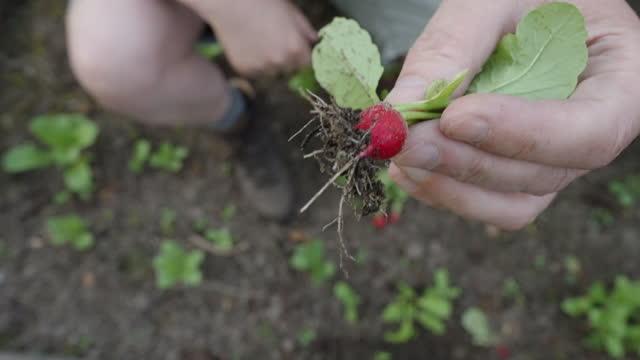 vídeos de stock e filmes b-roll de harvesting radishes - ramo parte de uma planta