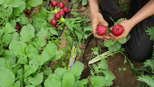 収穫 radishes - アブラナ科点の映像素材/bロール
