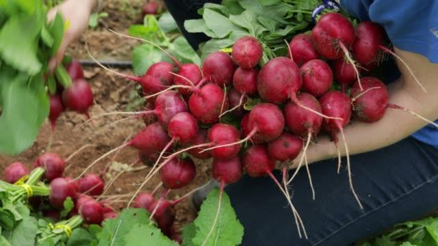 vidéos et rushes de cueillette radishes - radis