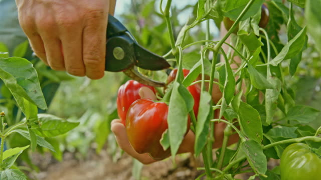 slo mo harvesting red peppers in the garden - bell pepper stock videos & royalty-free footage