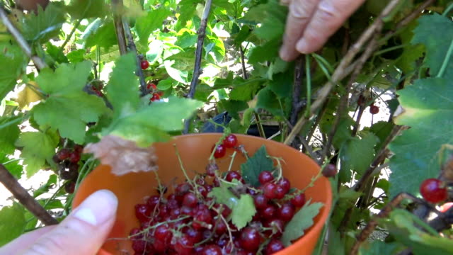 Harvesting redcurrant