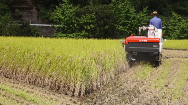 Harvesting rice with combine