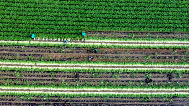 harvesting scenery of radish field / hongcheon-gun, gangwon-do, south korea - plowed field stock videos & royalty-free footage
