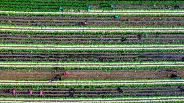 harvesting scenery of radish field / hongcheon-gun, gangwon-do, south korea - crucifers stock videos & royalty-free footage