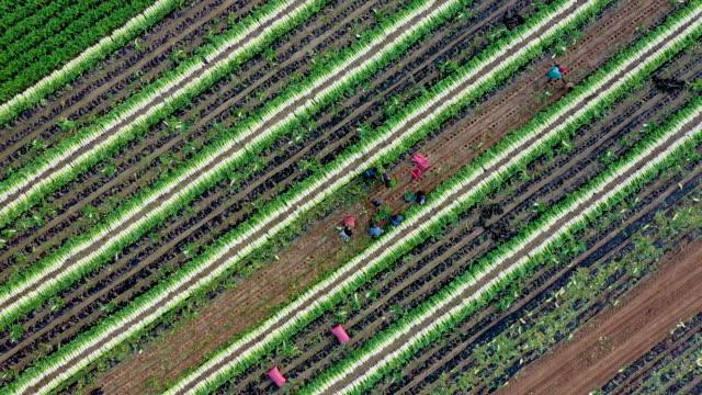 harvesting scenery of radish field / hongcheon-gun, gangwon-do, south korea - tilt stock videos & royalty-free footage